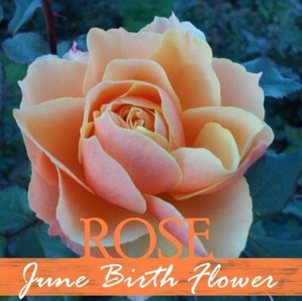 June Birth Flower Images