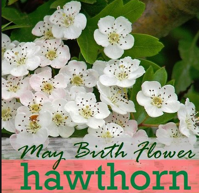 May Birth Flower Hawthorn