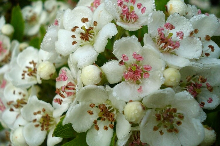 May Month Birth Flower Hawthorn