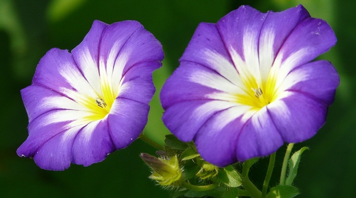 Morning Glory Flower Of The Month September