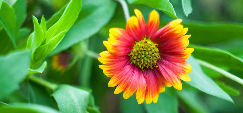 September Birth Flower Pictures