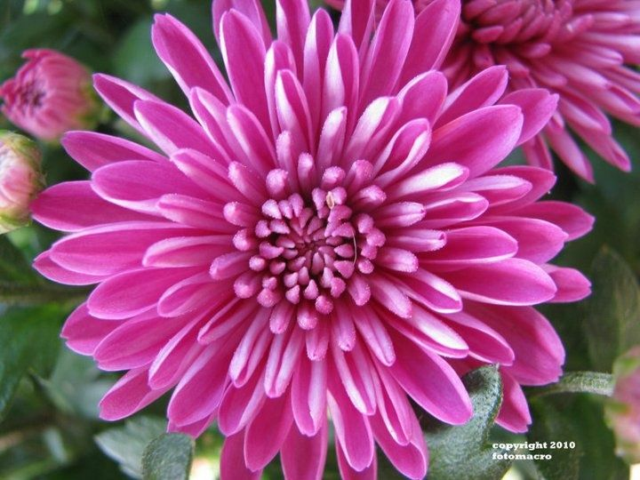 November Birth Flower Chrysanthemum Images
