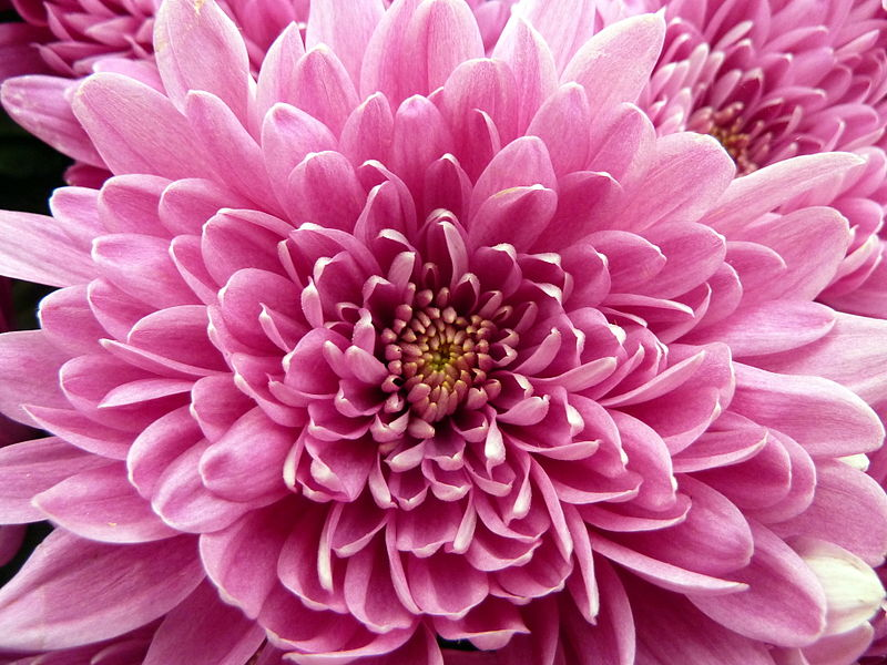 November Birth Flower Chrysanthemum